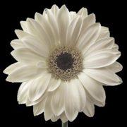 silver-daisy-real