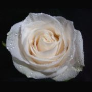 silver-rose-real