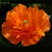 tangerine-poppy-real