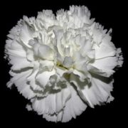white-carnation-real